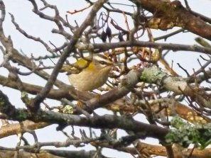 Firecrest Berry Hd 21 Nov 2014