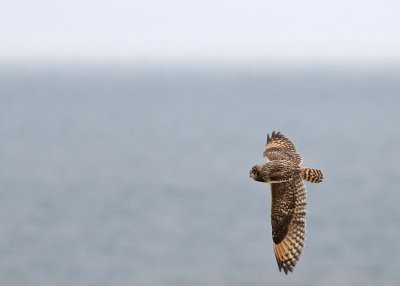 Short-eared Owl by Chris Townend