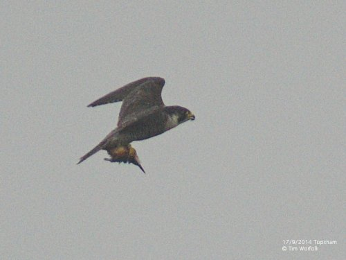 Peregrine predating Kingfisher - 17/9/2014 Topsham Recreation Ground