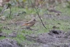 Female Common Redstart gathering nesting material