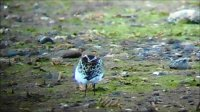 "Little Stint (showing ""braces"")"