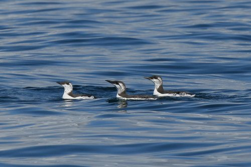 Moulting Guillemots