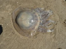 Speaking (as Rob was) of Barrel Jellyfish, here's a fresh one that from a distance looked about half the size of a football!