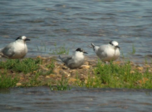 portlandica Arctic Tern with Sandwich Terns