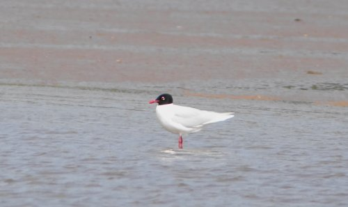 adult Mediterranean Gull from viewing platform