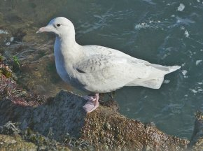 Iceland Gull juv/fw Brixham 15 Feb 2018 ML