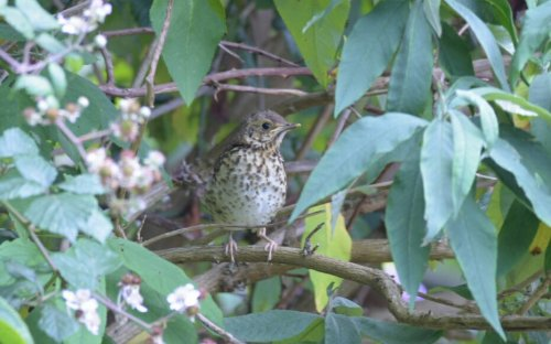 Young song thrush