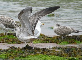 Yellow-legged Gull juv Broadsdands 26 July 2016 ML