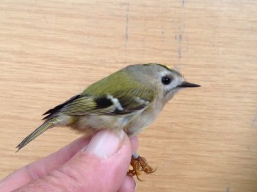 ' Continental' Goldcrest.i