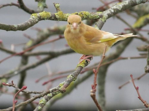 Greenfinch (xanthochroism)