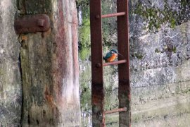 Kingfisher in Sutton Harbour