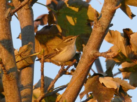 Yellow-browed Warbler Berry Head