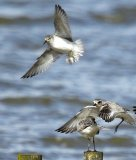 Knot with Grey Plover