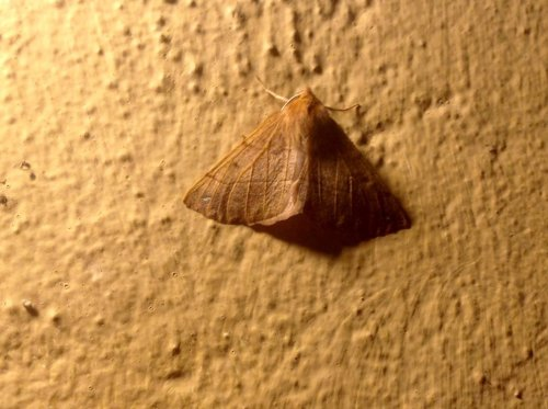 Feathered Thorn moth
