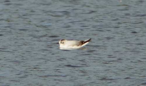 first summer Little Gull from the BGM hide