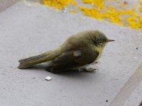 Chiffchaff juv window stunned