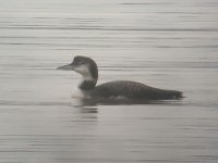 Great Northern Diver fw