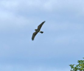 Hen Harrier juv Berry Hd 3rd Aug 2015 ML
