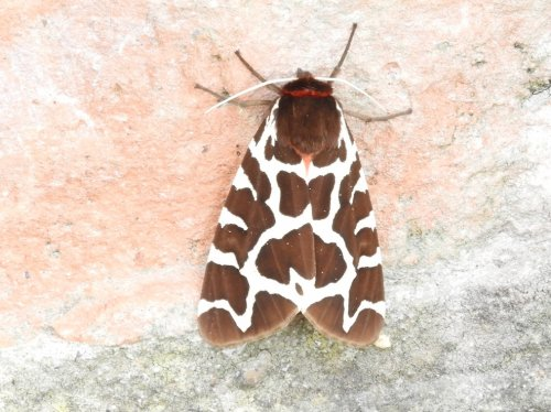Garden Tiger Moth adjacent to Sherpa Marsh this evening.