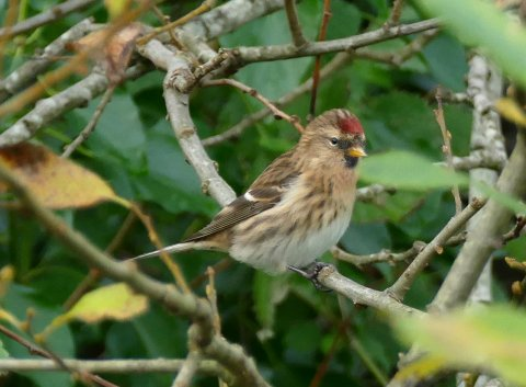 Lesser Redpoll Broadsands 28 Nov 2015 ML