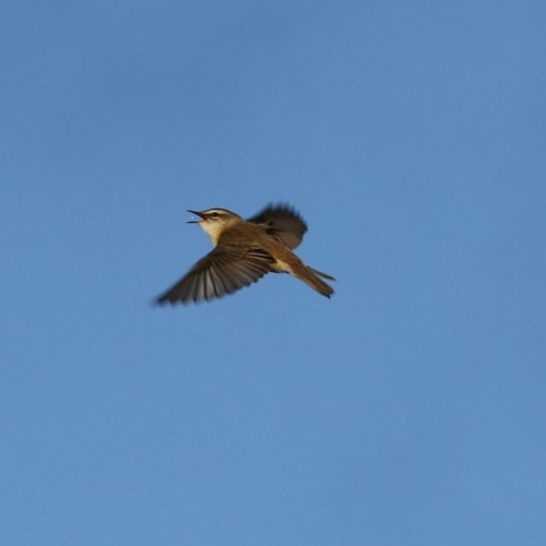 Displaying Sedge Warbler