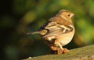 Female Chaffinch with leg problems
