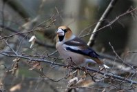 Male Hawfinch feding on Hornbeam