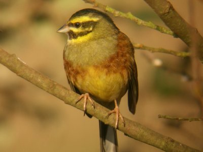 Cirl Bunting (Male) Mike Langman