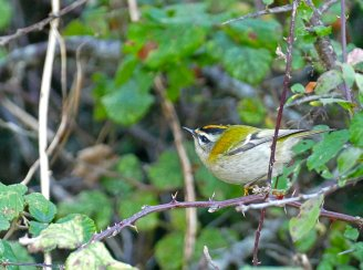 Firecrest Berry Hd 16th Oct 2015 ML