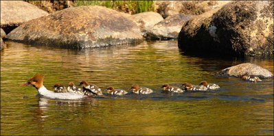 Goosander family © Ron Champion
