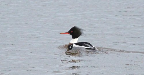 Red-Breasted Merganser River Clyst