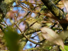 Yellow-browed Warbler Broadsands 8 Dec 2014 ML