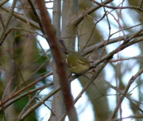 Yellow-browed Warbler Clennon Valley 2 Jan 2014 ML