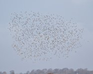 Black Tailed Godwits Flock no >1800