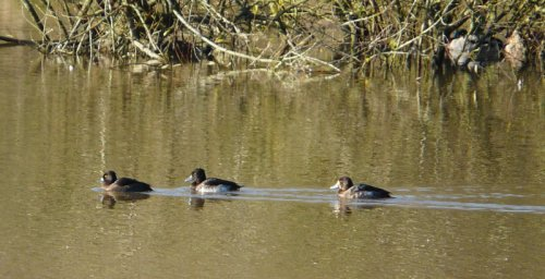 scaup with 2 tufted duck