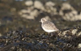 A single Plover (Grey Plover?)