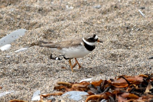 Ring Plover - Mount Batten - 14-08-15