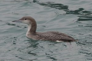 Black-throated Diver (juv)