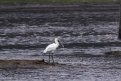 Juvenile Spoonbill feeding off hide