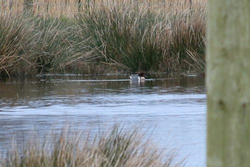 Green-winged Teal-distant view