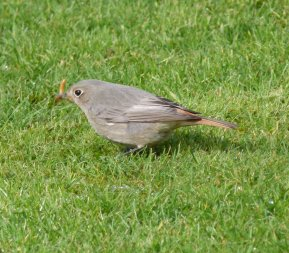 black Redstart Female Clennon Valley 17 Mar 13 ML