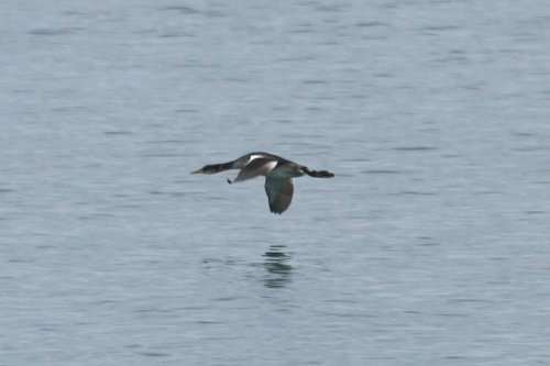 Red necked grebe, off Elberry Cove