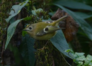 Goldcrest Berry Hd 29 Oct 2015 ML