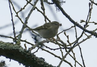 Yellow-browed Warbler Clennon Lakes 5 Jan 2017