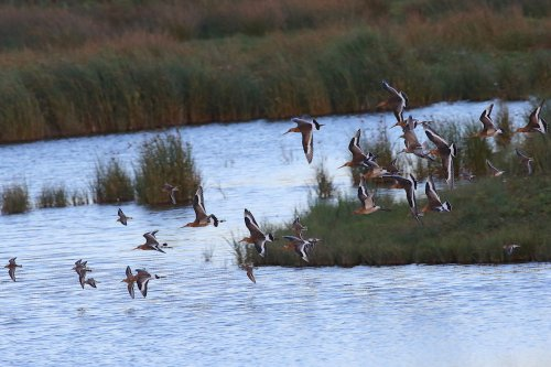 Black-tailed Godwits, Bar-tailed godwit and Dunlin