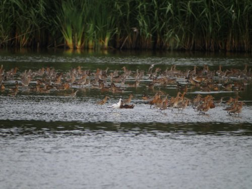 Avocet amongst the waders
