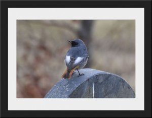 Photo 13 - Black Redstart by Greg Bradbury