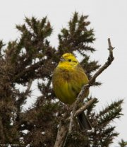 Yellowhammer - Cuckoo Ball - 13/5/2017