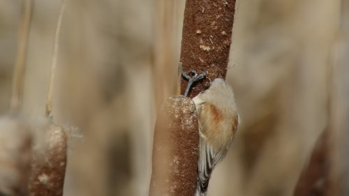 Penduline Tit at Darts Farm 5-3-2015