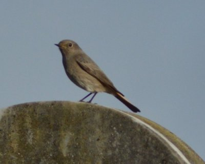 Black Redstart Ford Park Cemetery 7.12.2014 Mick Spencer